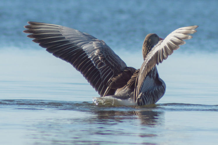 Close-up of graylag goose with spread wings