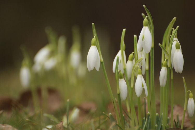 springtime ahead Early Bloomer Garden Springtime Blossoms Plant Flower Flowering Plant Fragility Vulnerability  Freshness Growth Snowdrop Beauty In Nature Petal Close-up White Color Nature Field Green Color No People Inflorescence Flower Head Day Outdoors Springtime Crocus