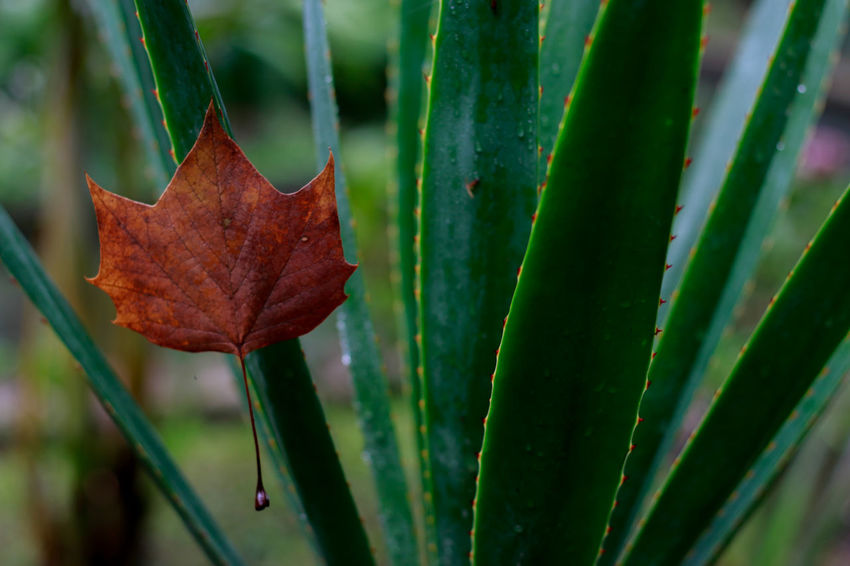 Leaf Close-up Dry Plant Stem Change Growth Green Color Nature Selective Focus Leaf Vein Day Focus On Foreground Tranquility Beauty In Nature Fragility Red Green Natural Condition Xalapa De Enríquez Xalapa Mexico Leaves🌿 Leaves Mexico