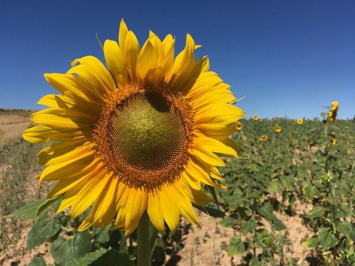 Flower Flower Head Flowering Plant Freshness Growth Plant Sunflower Yellow