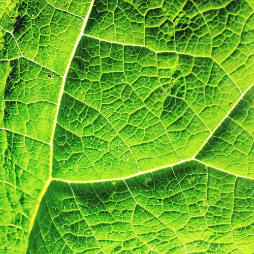 Leaf Leaf Vein Green Color Nature Full Frame Plant Backgrounds No People Close-up Growth Textured  Outdoors Day Freshness Beauty In Nature