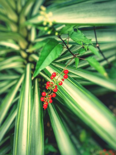 Growth Red Green Color Plant Flower Nature Beauty In Nature Leaf Close-up Outdoors No People Fragility Day Freshness P9LitePhilippines Huaweiphotography