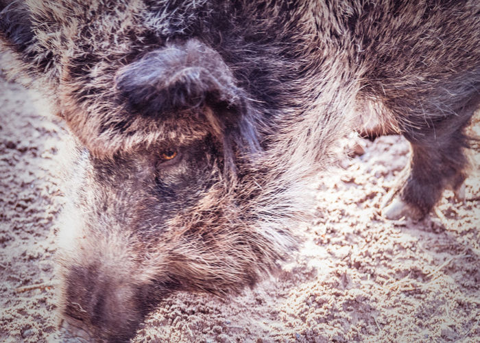 Boar APS-C DSLR Wild Animal Animal Hair Captivity Of A Wild Beast Close-up Mammal Nature No People One Animal Park Animal Repression Wild Boar