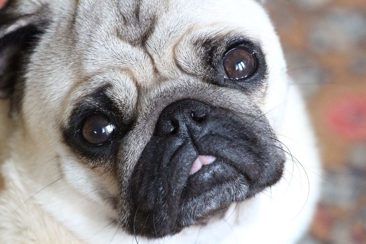 Close up of our little boy. Canon EF 70-200 F4 Canon1300d No People Animal Themes Pets Pug Dog Close-up EyeEm Best Shots Focus On Foreground Portrait Domestic Animals