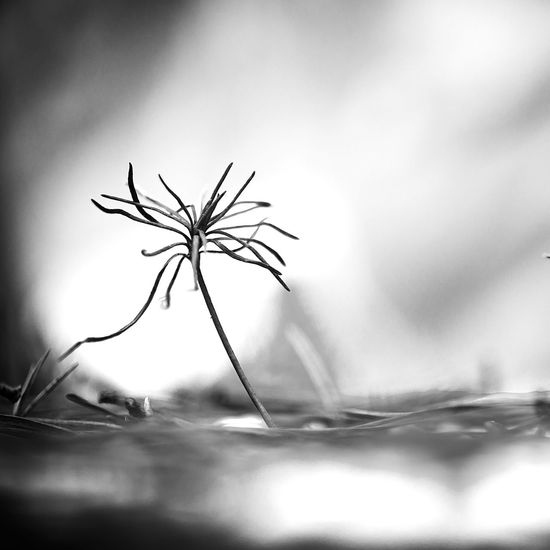 Art ArtWork Beauty In Nature Beauty In Nature Black & White Blackandwhite Close-up Day EyeEm Best Shots Flower Flower Head Fragility Freshness Macro Macro Nature Nature Nature No People Outdoors Pine Quadrate Selective Focus Sky Smoll Square Black And White Friday Shades Of Winter