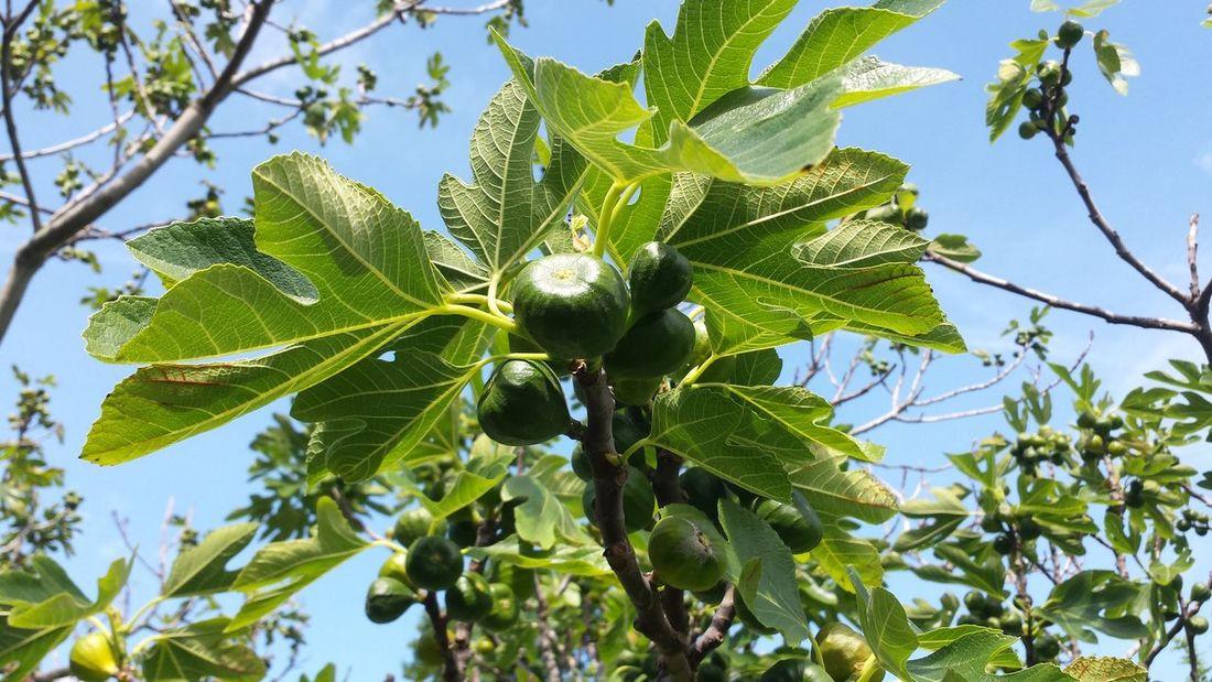 Tree Branch Leaf Fruit Green Color