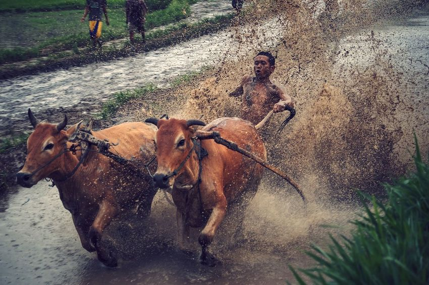 Pacu jawi Red Bull Cow Race Pacu Jawi Travel West Sumatera INDONESIA