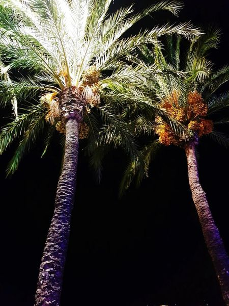 Palm Tree Tree Night Outdoors Nature Sky Close-up No People