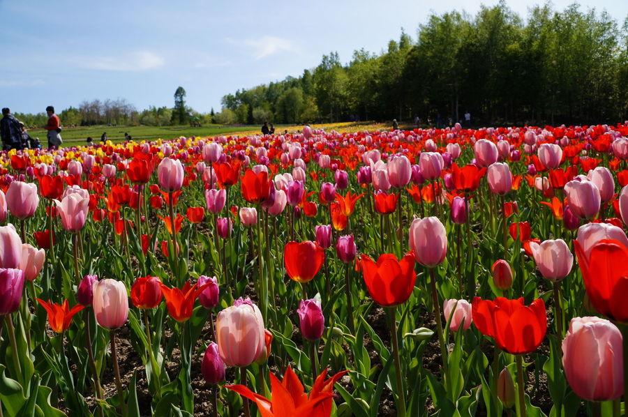 滝野すずらん公園 Flower Flowers Tulips🌷 花 Tulip Tulips チューリップ