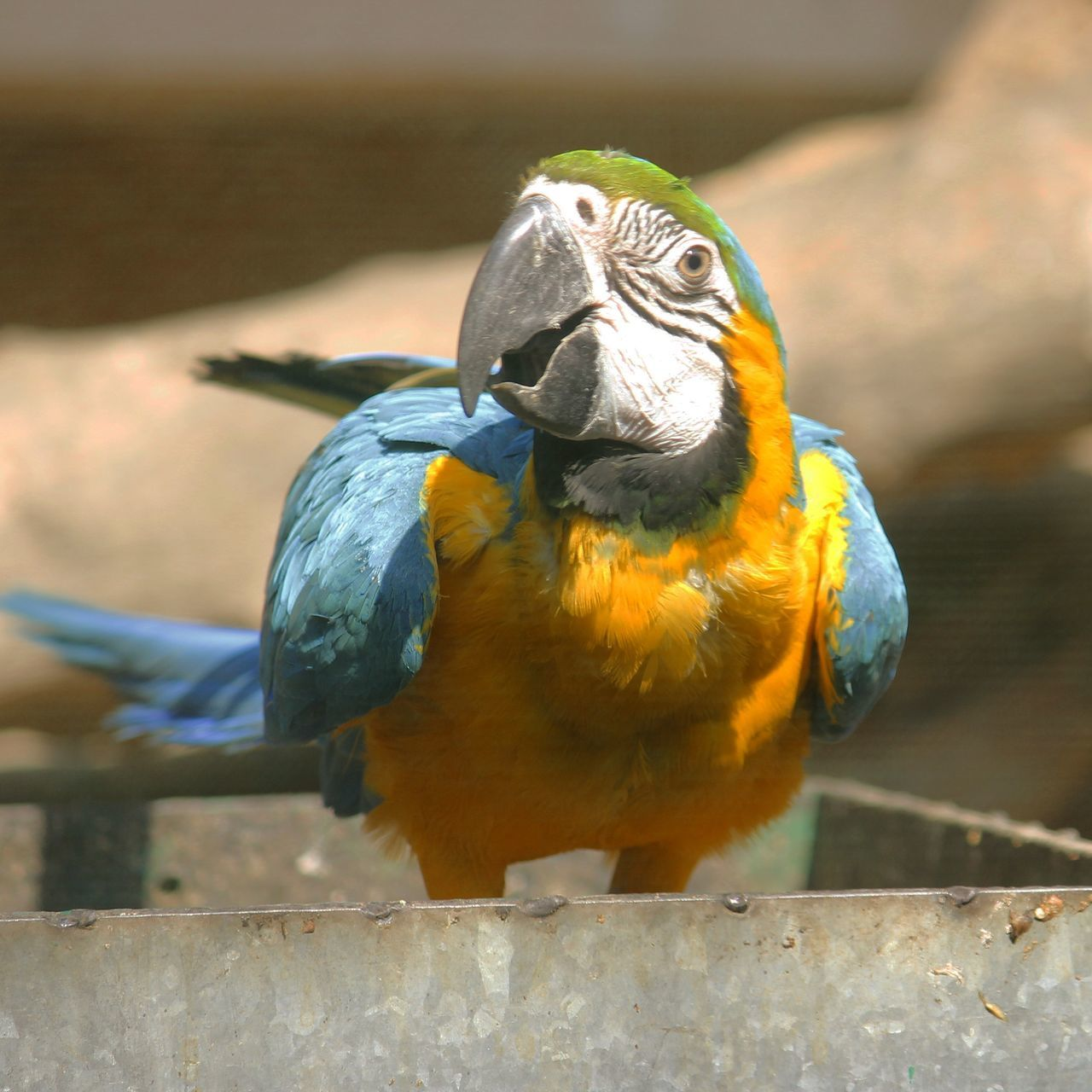 animal themes, one animal, bird, animals in the wild, focus on foreground, close-up, wildlife, beak, animal head, perching, yellow, day, no people, parrot, front view, outdoors, animals in captivity, nature, animal body part, zoo