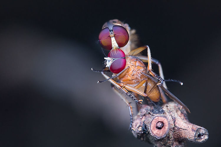 Close-up of mosquito mating on plant