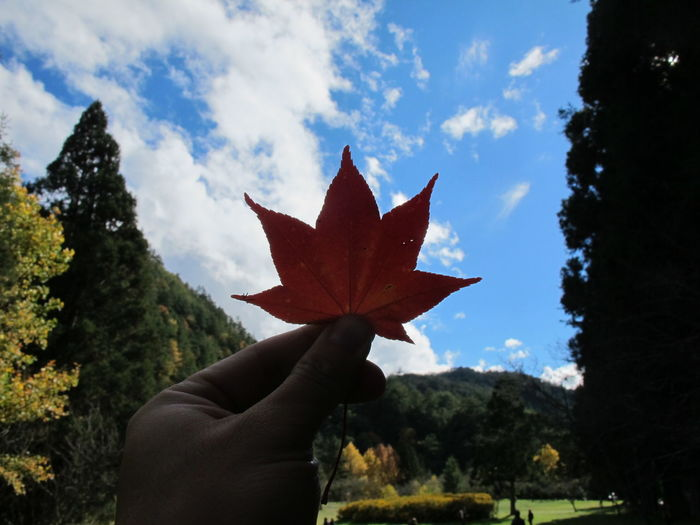 Person holding maple leaf against sky