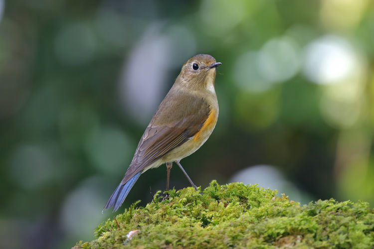 Animal Themes Animal Vertebrate Bird One Animal Animal Wildlife Animals In The Wild Perching Plant Selective Focus Close-up Day No People Green Color Focus On Foreground Beauty In Nature Nature Robin Outdoors Moss