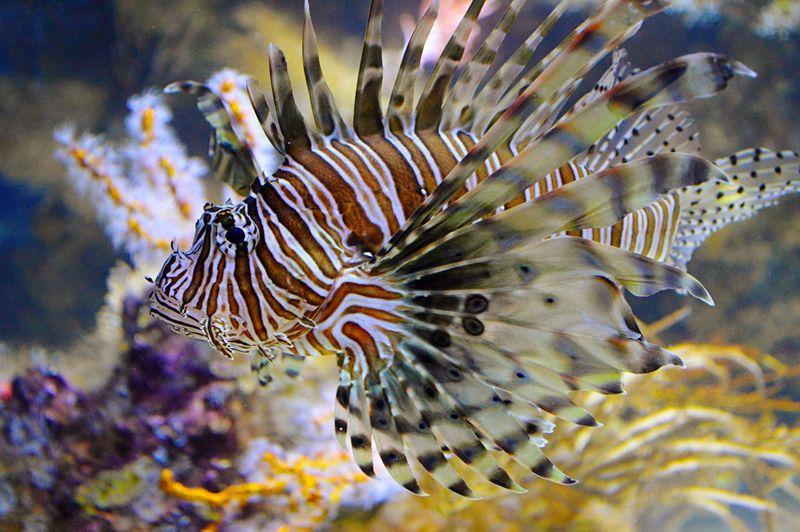 Tigerfish at Monterey Bay Aquarium Monterey Bay California Sealife Travel