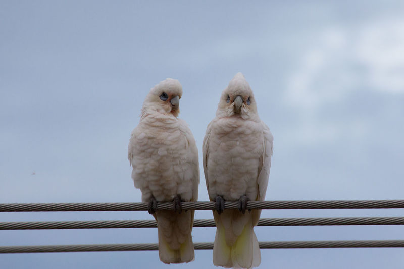 Low angle view of little corellas perching on cables against sky