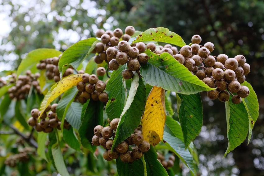 Gold coloured berries from a Sorbus caloneura tree Berries Gold Sorbus Caloneura Beauty In Nature Berry Close-up Day Flower Focus On Foreground Fragility Freshness Gold Berries Green Color Growth Leaf Leaves Nature No People Outdoors Plant Tree