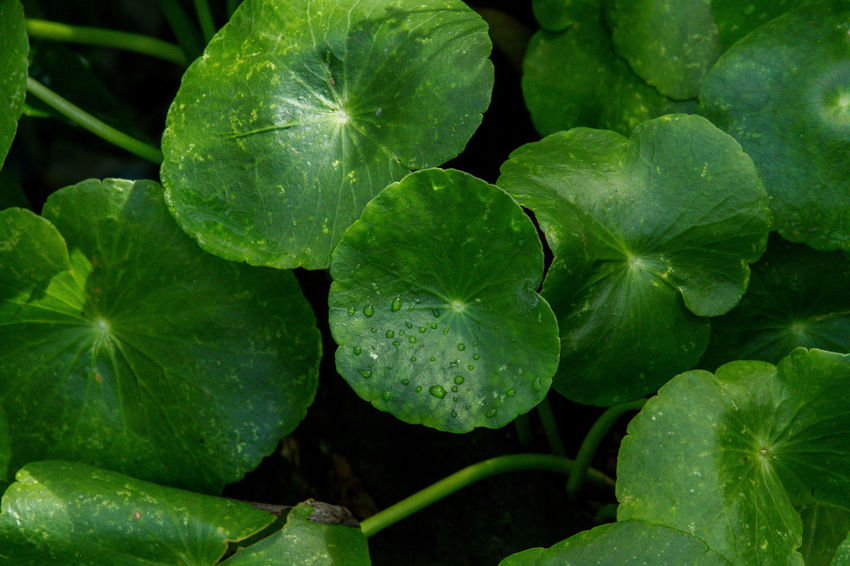 Centella Asiatica Beauty In Nature Centella Asiatica Centella Asiatica Urban Close-up Day Food Food And Drink Freshness Green Color Growth Leaf Nature No People Outdoors Plant Water