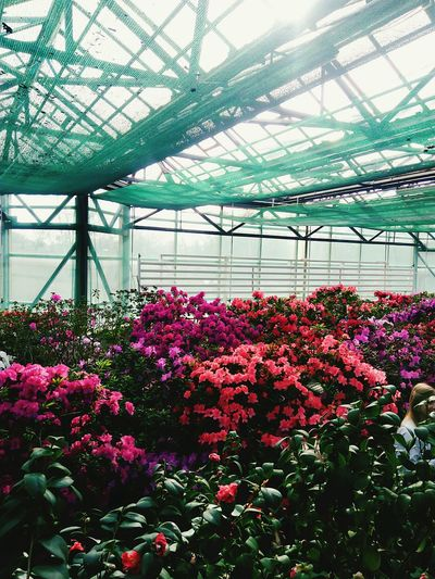 Flower Nature Plant Beauty In Nature Greenhouse Flower Head Biology Blossom No People Instakiev Kievspring Киев Ukraine Instagood Flowers Mobile Conversations