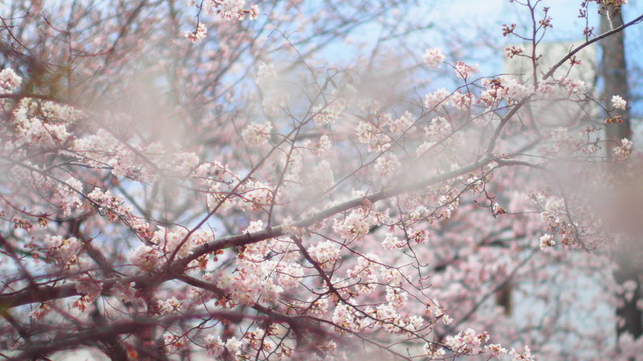 Beauty In Nature Blooming Blossom Branch Cherry Blossom Cherry Tree Close-up Flower Focus On Foreground Fragility Freshness Growth In Bloom Low Angle View Nature Pink Color Season  Springtime Tree Twig