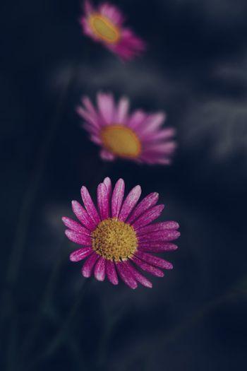 daisy blooming EyeEm Best Shots EyeEm Nature Lover EyeEm Gallery Eyeem4photography Close-up Macro Beauty In Nature Flower Head Flower Zinnia  Pink Color Multi Colored Petal Purple Beauty Defocused Yellow Cosmos Flower In Bloom Botany Blooming