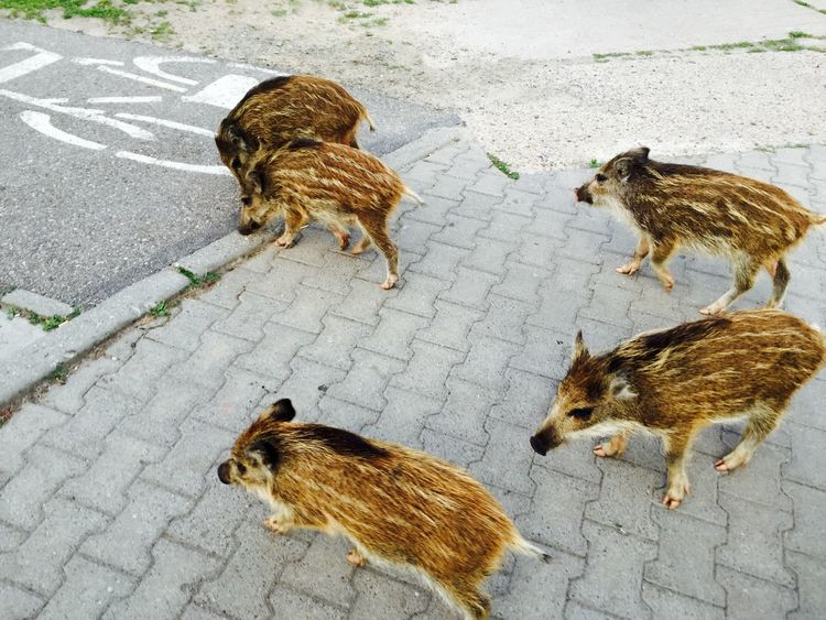 Animal Themes Boars Day Mammal Nature No People Outdoors Wildlife