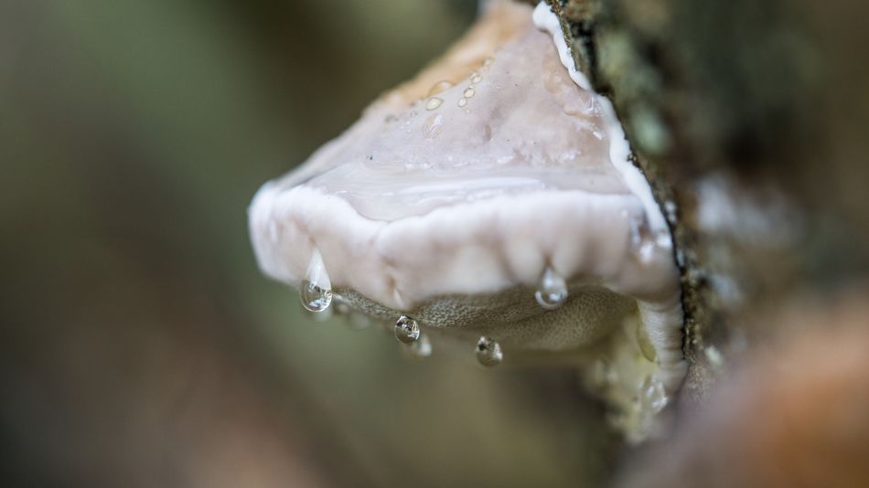 Drop Water Wet Nature Close-up Motion Beauty In Nature Day No People Purity Focus On Foreground Freshness Dripping High-speed Photography Outdoors Fragility Tropfen Pilz Mushroom Macro Photography Macro Macro_collection Sony A6000 SEL90M28G Tübingen Connected By Travel Lost In The Landscape EyeEmNewHere Perspectives On Nature Autumn Mood