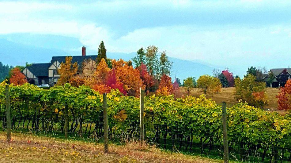 Green Okanagan Kelowna Okanagan Valley Rich Colors True Beauty Vineyard Vineyards  Fall Colors
