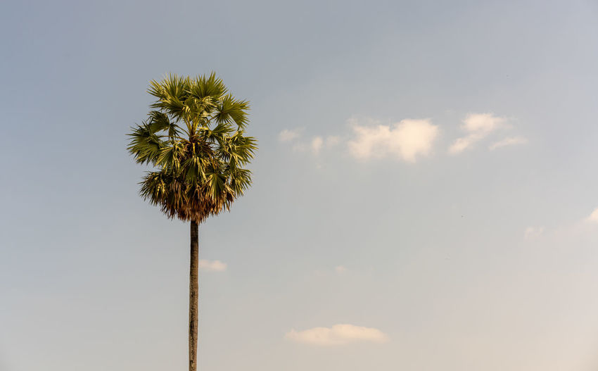 Sky Palm Tree Cloud - Sky Plant Low Angle View Nature Tropical Climate Tree Beauty In Nature No People Growth Tranquility Day Outdoors Tall - High Tree Trunk Copy Space Trunk Tranquil Scene Scenics - Nature Coconut Palm Tree Tropical Tree Palm Leaf Summer
