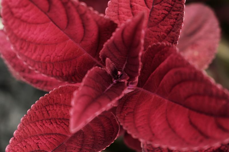 Close-up of red rose on leaves
