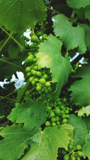 Natur Nature Natural Plant Life Wine Weinberg New Wine Weintrauben Weinblätter Weinregion