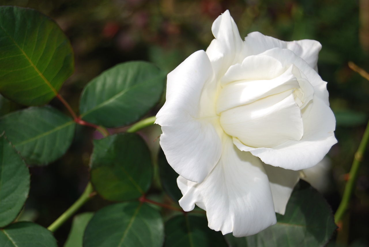 CLOSE-UP OF WHITE ROSE PLANT