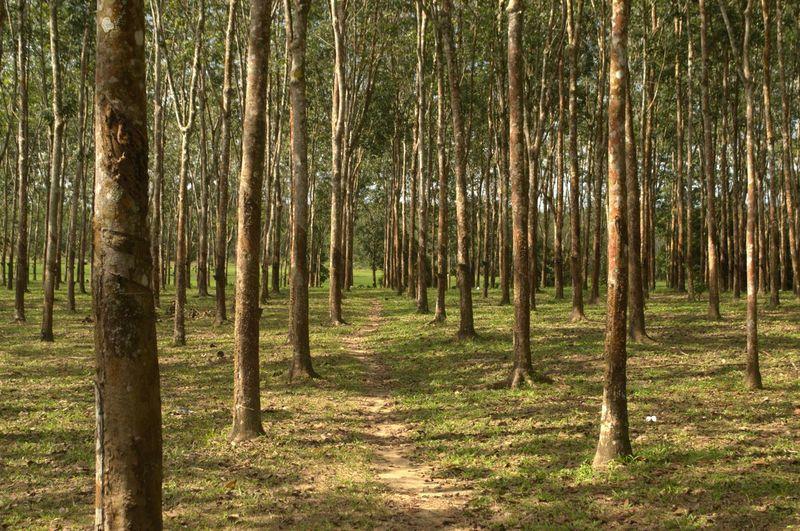 Plant Tree Forest Kedah Malaysia Nature Outdoors Pine Tree Rubber Rubber Tree Tree Tree Trunk