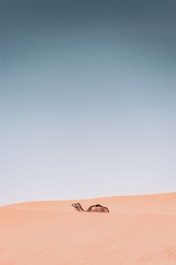 Camel on sand dunes against clear sky