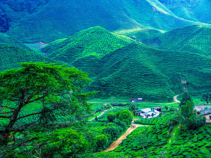 Tea plantation and the woerker camp at Cameron Highland in Malaysia. EyeEm Nature Lover Plant Tree Green Color Scenics - Nature Landscape Land Beauty In Nature Environment Tranquility Tranquil Scene Growth Mountain Nature Day High Angle View Foliage Lush Foliage Agriculture Field Rural Scene Outdoors No People Rainforest Tea Plantation  Tea Plant EyeEmNewHere