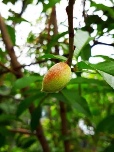 Nature photography EyeEmNewHere Peach Peach Tree Branches Leafs Nature Unripe Fruit Tree Fruit Branch Agriculture Close-up