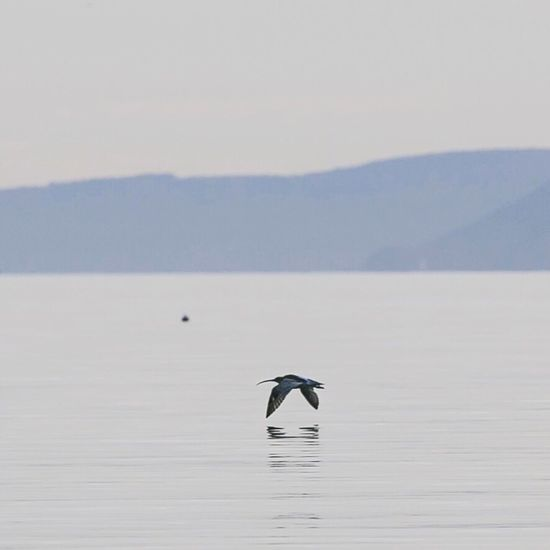 Curlew Bird Photography Flying One Animal Nature Waterfront No People Beauty In Nature Water Spread Wings Flat Calm Clear Sky Calmness Scotland Tranquility Animal Wildlife Outdoors Animals In The Wild Sky Day Peaceful Restorative Reconnecting  Gillian McBain Photographer Scotlandsbeauty
