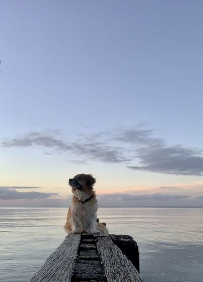 Dog sitting by sea against sky during sunset