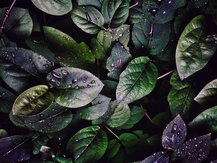 High angle view of wet plant leaves during rainy season