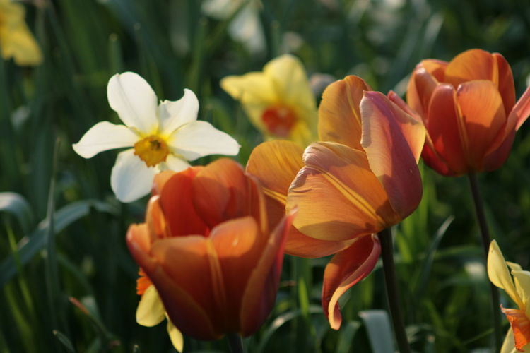 Beauty In Nature Blooming Daffodils And Tulips Flower Flower Head Nature Plant