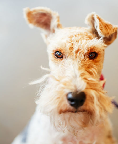 Wire Fox Terrier Close Up Indoor Portrait Breed Expressive Funny Inner Power Wire Fox Terrier Young Animal Brown Canine Close Cut Dog Domestic Eyes Face Fox HEAD Little Mammal Pets Portrait Purebred Terrier White Years Visual Creativity The Portraitist - 2018 EyeEm Awards