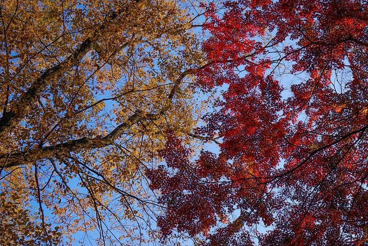 Tree Low Angle View Autumn Branch Nature Beauty In Nature Leaf Growth Change Outdoors No People Blue Sky Maple Tree Day Tranquility Full Frame Forest Scenics