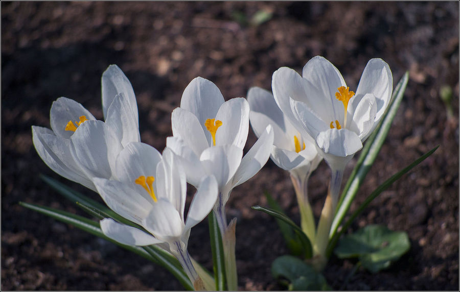 The first flowers in this spring. Beauty In Nature Close-up Crocus Day Field First Flowers First Flowers Of Spring Flower Flower Head Flowering Plant Focus On Foreground Fragility Freshness Growth Inflorescence Iris Nature No People Outdoors Petal Plant Pollen Spring Vulnerability  White Color