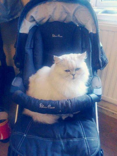 Freddie Cat In A Pram