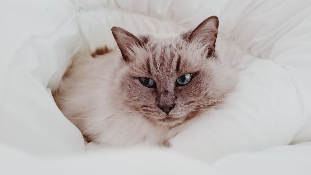 Animal Bed Bedroom Blue Eyes Cat Domestic Animals Domestic Cat Feline Feline Portraits Fluffy Cat Kitty Looking At Camera Lying Down No People Pet Pet Photography  Pets Portrait Ragdoll Ragdoll Cat Relaxation