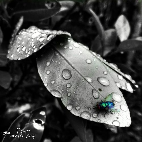 Housefly in MorNing Dews Leaf Nature Drop Water No People Close-up Day One Animal Fly Housefly Blackandwhite Macro Photography Macro Outdoors Animal Themes Fragility Beauty In Nature First Eyeem Photo