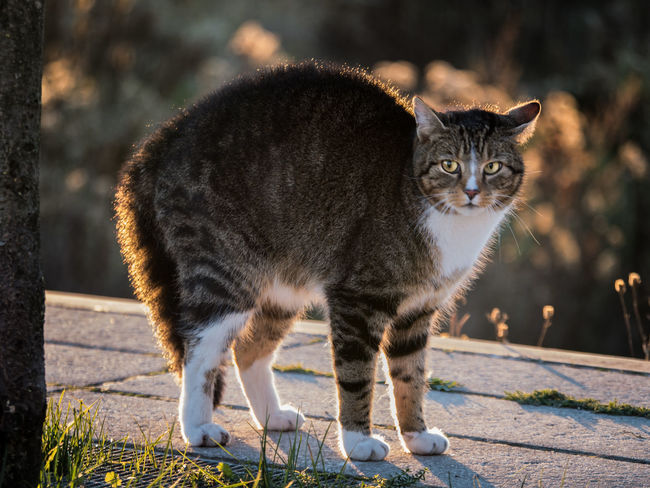 Mammal Cat One Animal Domestic Cat Feline Domestic Animals Pets Domestic Focus On Foreground Portrait Standing Vertebrate No People Looking At Camera Full Length Day Sunlight Whisker Tabby