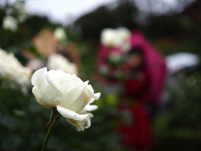 で、使い慣れた25mmF1.8に付け替えると水を得た魚のように、ガンガン撮り始める。 Rose - Flower Flower Petal Flower Head Fragility Freshness White Color Blooming Plant Close-up Focus On Foreground Umbrella Rainy Day Olympus OM-D E-M5 Mk.II カメラを構える前に絵が出来てるもの。カメラを構えてからシャッター押すまで体感で10倍くらいスピードが違うような。