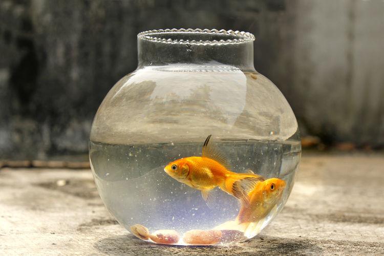 Gold fish Fish Goldfish Transparent Pets Water Nature Marine Fishbowl
