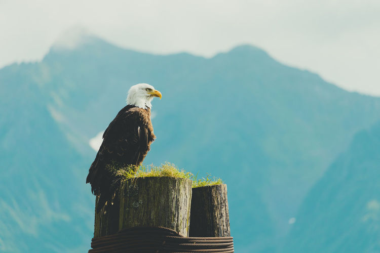 Eagle on resurrection bay
