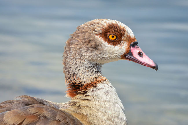 Egyptian Goose posing in Hyde Park, London. Alopochen Aegyptiaca Park Life Pond Animal Animal Eye Animal Head  Animal Portrait Beak Bird Bird Portait Close-up Day Egyptian Goose Fauna Focus On Foreground Goose Hyde Park Nature Vertebrate Water Water Bird